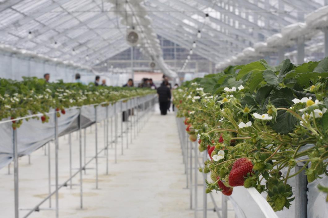 Toyohira Donguri Farm - Strawberry Picking Experience (Kitahiroshima Town)